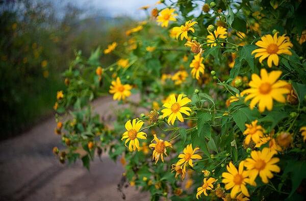 Đà Lạt có đa dạng các loại hoa, trong đó hoa dã quỳ được nhiều người yêu thích