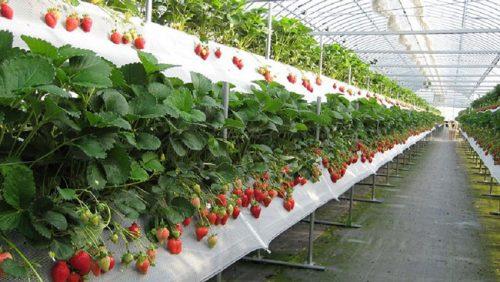vườn dâu Đà Lạt Biofresh