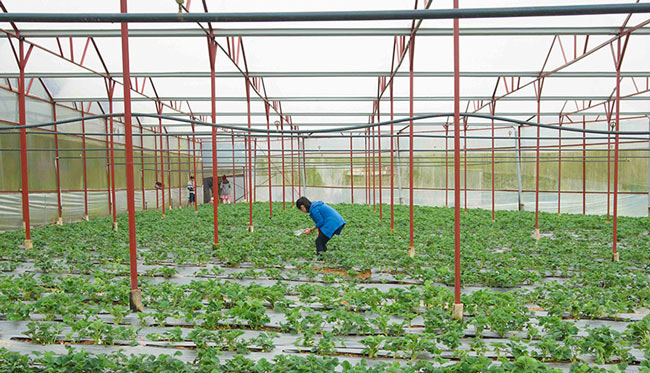 Vườn dâu Chú Hùng Đà Lạt